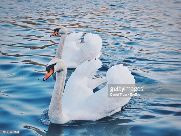 view of swans in calm water - swan stock pictures, royalty-free photos & images