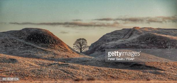 view of sycamore tree - sycamore tree stock photos and pictures
