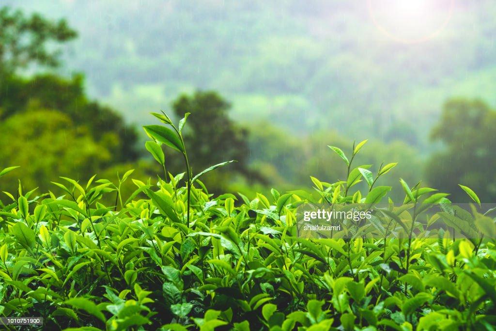 View of tea plantation during foggy morning at Sabah, Malaysia : Stock Photo