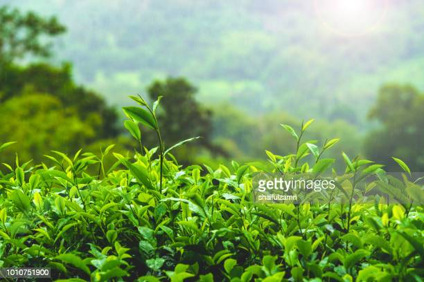 view of tea plantation during foggy morning at sabah, malaysia - tea leaves stock photos and pictures