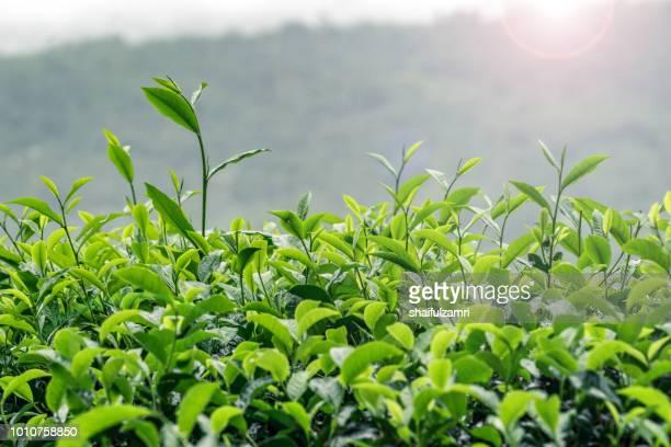 view of tea plantation during foggy morning at sabah, malaysia - shaifulzamri stock-fotos und bilder