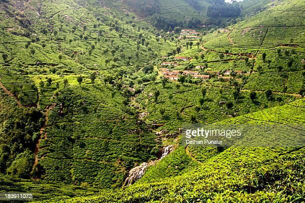 View of tea plantation