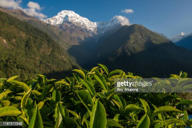 view of tea plantation with mt.annapurna south and mt.hiunchuli in the background on the way to annapurna base camp, nepal. - nepal photos stock pictures, royalty-free photos & images