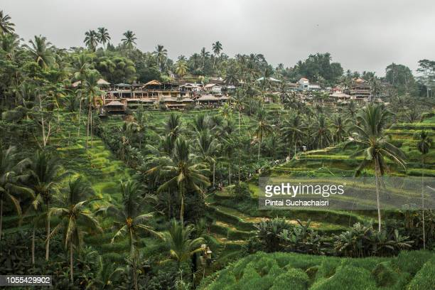 view of tegallalang rice terrace in ubud, bali - tegallalang stock photos and pictures