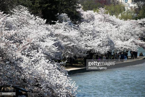 A view of the blooming cherry trees which were sent from Tokyo after it was selected as 'town twinning' in 1912 along the Tidal Basin ahead of the...