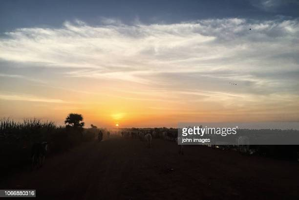 view of the departure of the animals on the farm - mali photos et images de collection