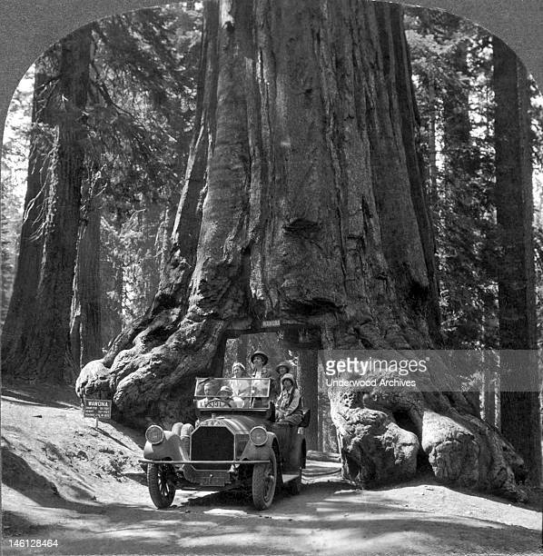 View of the giant 'Wawona' Sequoia tree in Yosemite National Park Yosemite National Park California mid 1910s The tunnel was cut through the tree's...