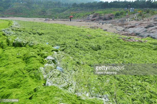 View of the green algae washed ashore in Qingdao in east China's Shandong province Sunday, June 14, 2020. The excessive algae have plagued the seas...