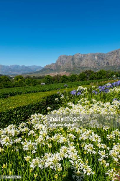 View of the mountains and vineyards of Stellenbosch from the Delaire Graff Estate in the Western Cape Province of South Africa near Cape Town with...
