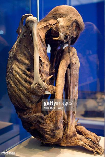 View of the mummified remains of a preColumbian man at the 'Mummies The Dream of Everlasting Life' exhibition at the ReissEngelhorn Museum in...