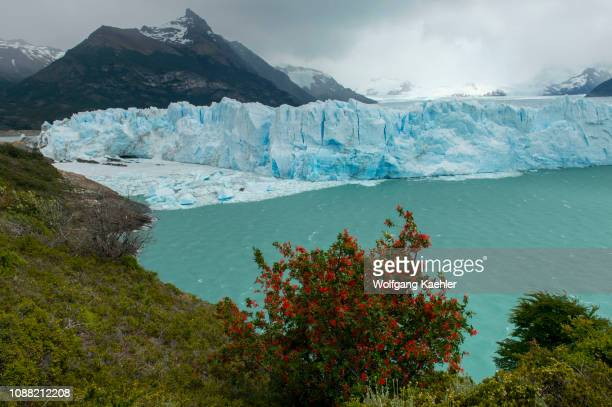 View of the Perito Moreno Glacier in Los Glaciares National Park near El Calafate Argentina with Embothrium coccineum commonly known as the Chilean...