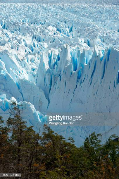 View of the Perito Moreno glacier with trees in the foreground at Lago Argentino in Los Glaciares National Park near El Calafate, Patagonia,...