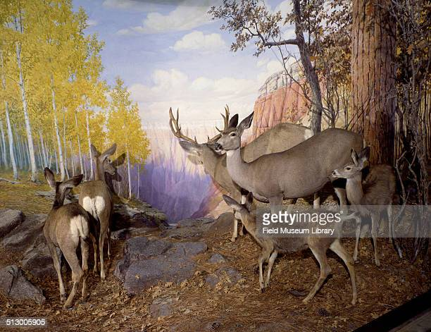 View of the Rocky Mountain Mule Deer diorama in Hall 16 of the Field Museum August 10 2000 Zoology specimen 29918 29923 from Kaibab National Forest...