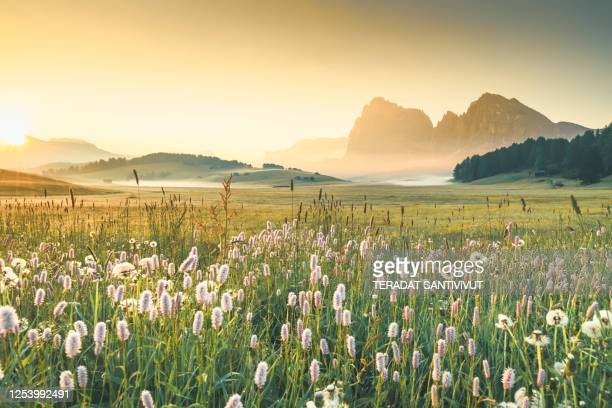 view of the seiser alm (alpe di siusi in italian), one of the biggest alpine meadows on the dolomites, with the sassolungo and sassopiatto peaks on the background. - european alps stock pictures, royalty-free photos & images
