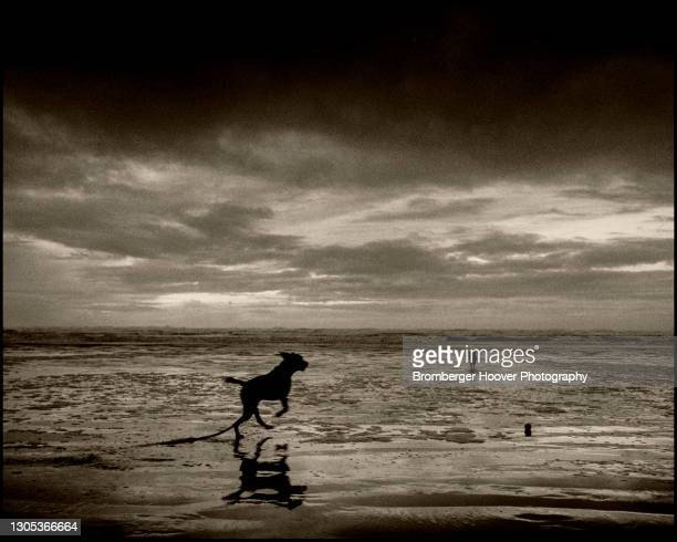 View of the silhouettes of a dogs named Nebo running on the sand at Ocean Shores Beach, Washington, 1991.