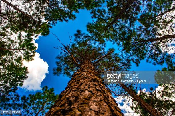 view of the sky in the forest - pinaceae stock pictures, royalty-free photos & images