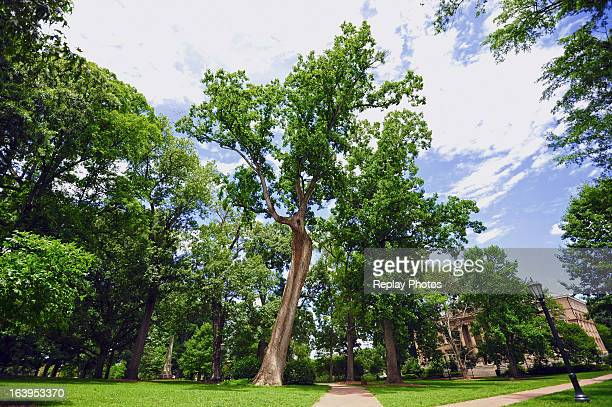 A view of the The Davie Poplar tree on campus of the University of North Carolina on June 6 2012 in Chapel Hill North Carolina