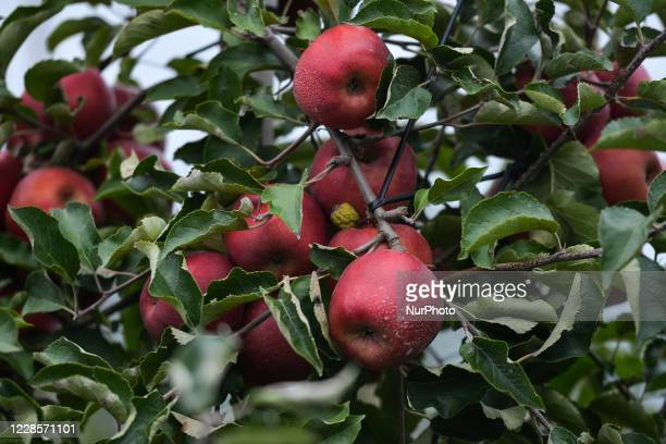 View of the trees with ripening apples near Koprzywnica. Fruit growers have started harvesting apples and pears, and most of them do so using their...