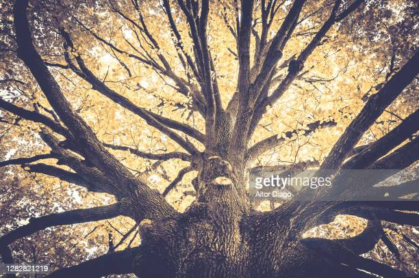 view of the trunk of a huge oak tree from below in autumn. artistic photography.germany - 100th anniversary stock pictures, royalty-free photos & images