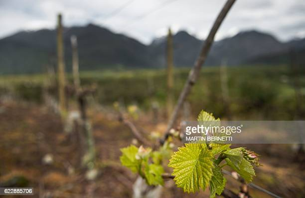"""View of the vineyard at Villasenor winery, where the """"Puelo Patagonia"""" wine is produced, in Puelo, Los Lagos Region, Chile on October 18, 2016. Amid..."""