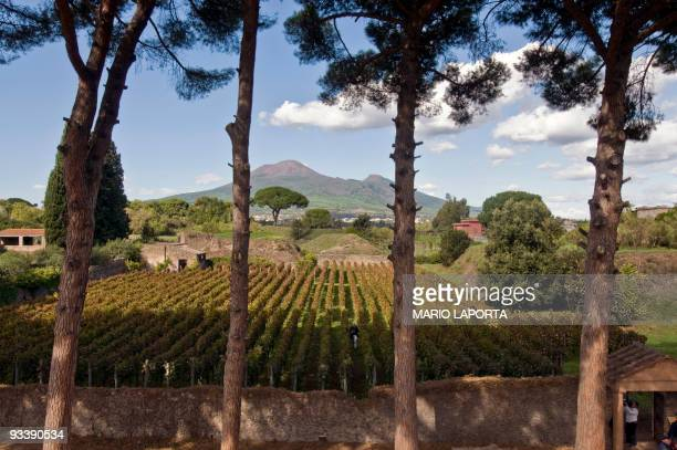 A view of the vineyards located in the ruins of ancient Pompei with the Vesuvio volcano in the background during the harvest on October 13 2009 The...