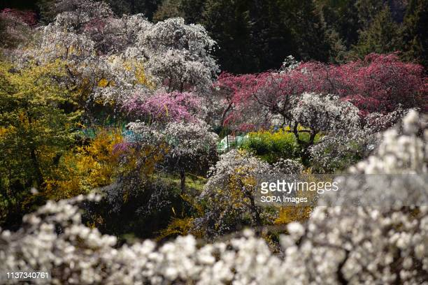 A view of the weeping peach trees Approximately 3000 weeping peaches flourish in the Asahi District's Kaminakacho Toyota Aichi prefecture Japan The...