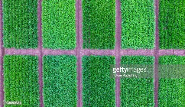 YANGZHOU CHINA FEBRUARY 25 2020 A view of the wheat experimental field rejuvenated by Yangzhou Academy of Agricultural Sciences Yangzhou City Jiangsu...
