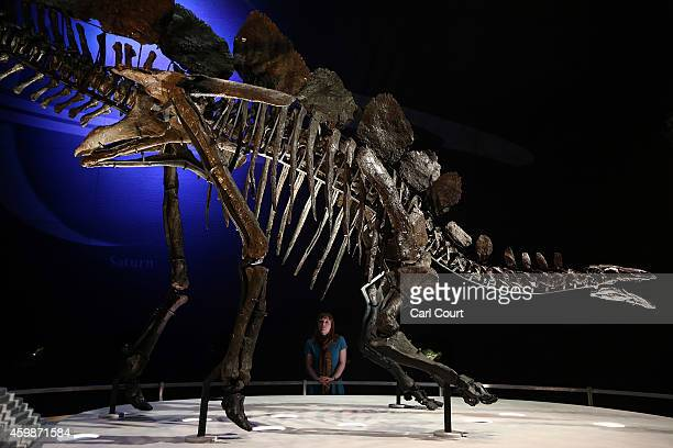 A view of the world's most complete Stegosaurus fossil as it is unveiled at a press preview at the Natural History Museum on December 3 2014 in...