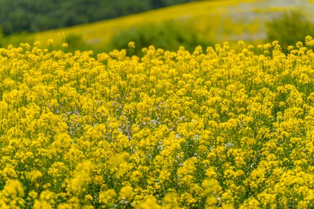 View of thousands of yellow flowers called colza in temuco some 680 view of thousands of yellow flowers called colza in temuco some 680 km south of mightylinksfo