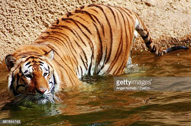 View Of Tiger In Water