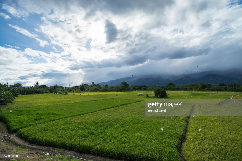 View of traditional paddy field during stormy sunset in Tenom, Sabah, Malaysia. : Stock Photo