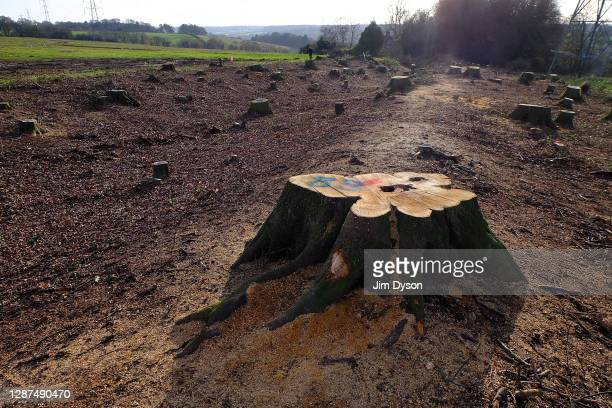 View of tree stumps that remain following extensive tree-felling at a section of an Iron Age earthwork known as Grim's Ditch, scheduled as an...