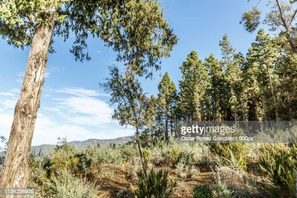 view of trees and pines of teide national park in tenerife - foresta temperata foto e immagini stock