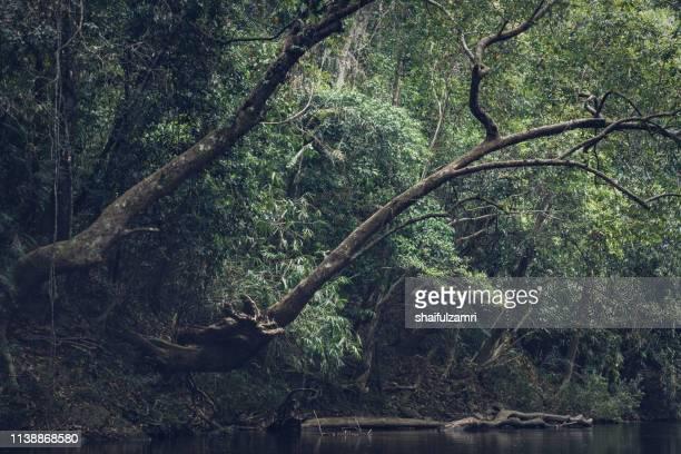 view of tropical rain forest landscape at taman negara, pahang, malaysia. - shaifulzamri stock pictures, royalty-free photos & images
