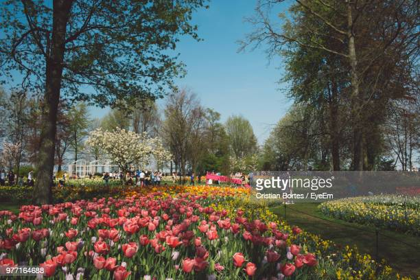 View Of Tulips In Park