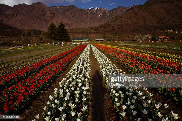 A view of Tulips in Siraj Bagh Tulip garden during spring season on April 07 2015 in Srinagar the summer capital of Indian administered Kashmir India...