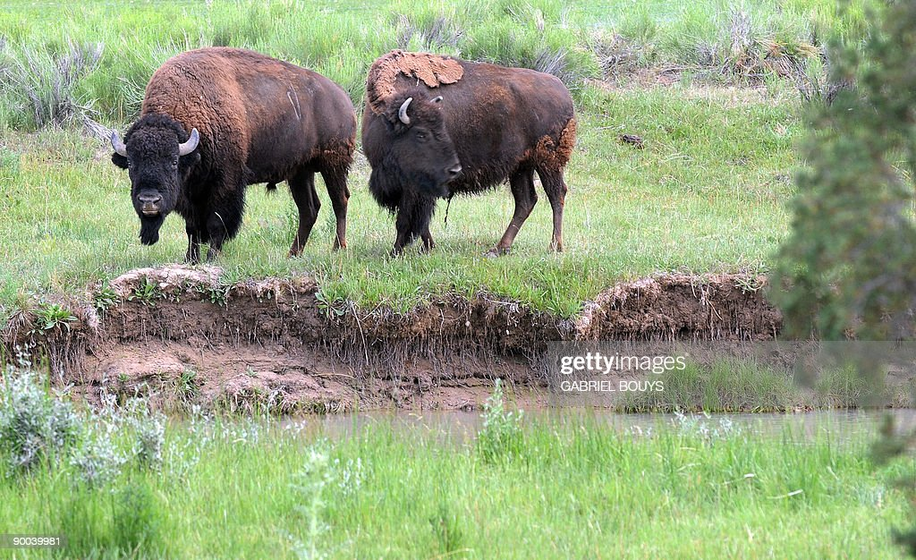 A view of two bison as they forage near : News Photo