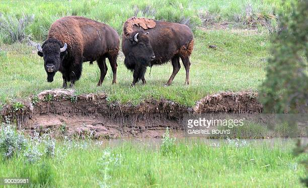 A view of two bison as they forage near Flagstaff Arizona on August 24 2009 The American Bison is a North American species of bison also commonly...