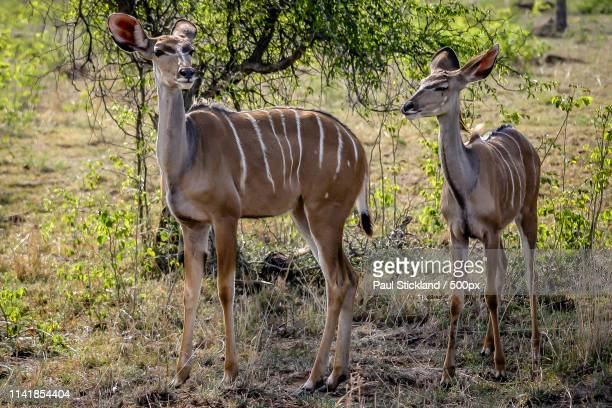 View of two greater kudus