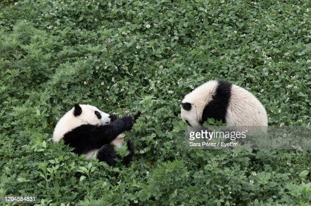view of two panda bears on ground - giant panda stock pictures, royalty-free photos & images