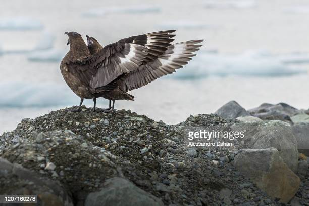 View of two South Polar Skuas on December 22 2019 in King George Island Antarctica These aggressive seabirds are known to attack humans who venture...
