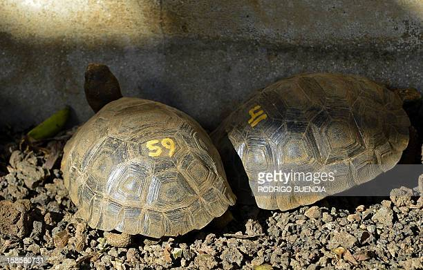 View of two turtles at the breeding centre for giant turtles at the Galapagos National Park in Santa Cruz island on December 9 2012 AFP PHOTO /...