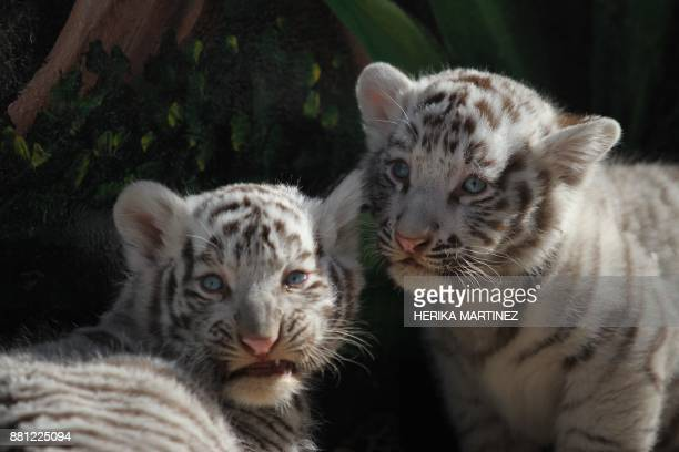 View of two white Bengal tiger cubs born twenty days ago at San Jorge zoo in Ciudad Juarez Chihuahua state Mexico on November 28 2017 White bengal...