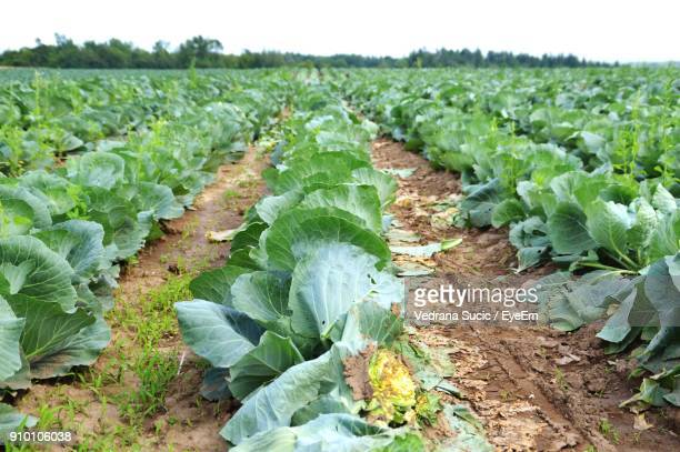 View Of Vegetables Growing In Farm