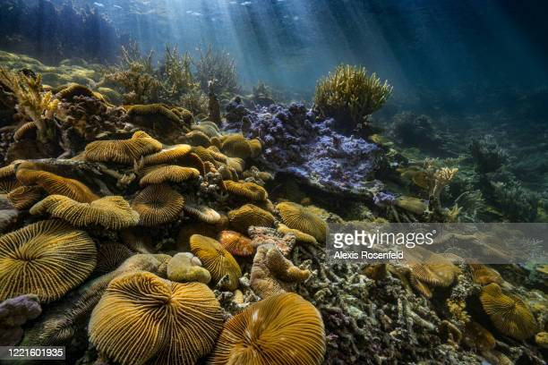 View of very large group of mushroom corals in Rikitea lagoon on February 16 Gambier Islands, French Polynesia, South Pacific. Mushroom corals are...