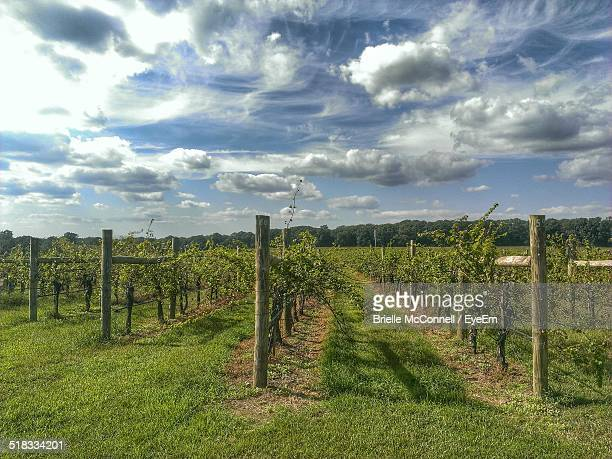 view of vineyard - mcconnell stock pictures, royalty-free photos & images