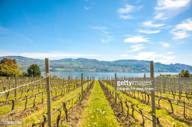 view of vineyards and okanagan lake, against a sunny clear blue sky - okanagan valley stock pictures, royalty-free photos & images