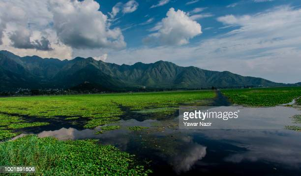 A view of water lilies floating on the waters of Dal lake on July 19 2018 in Srinagar the summer capital of Indian administered Kashmir India Kashmir...