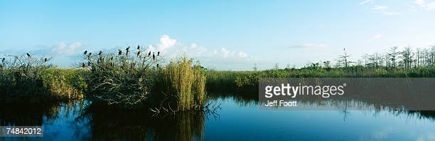 view of weeds growing in a swamp, everglades national park, florida, usa - anhinga_trail foto e immagini stock
