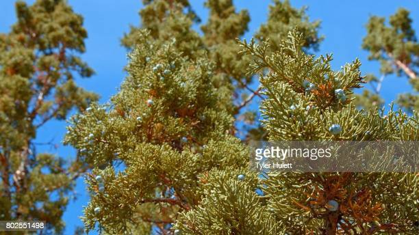 view of western juniper tree and sky spring sutton mountain john day great basin high desert columbia plateau - western juniper tree stock pictures, royalty-free photos & images
